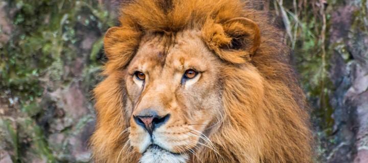 lion-blog_04_01